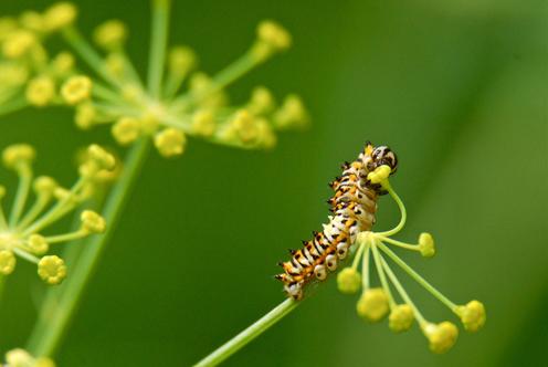 Black Swallowtail larvae 496