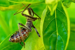 Wheel bug nymph 500